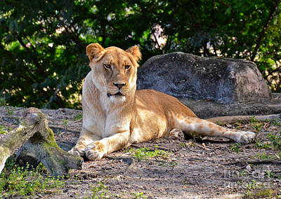 Photograph - Mama Lion by Carol  Bradley