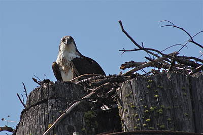Photograph - Mama Osprey by Cathie Douglas