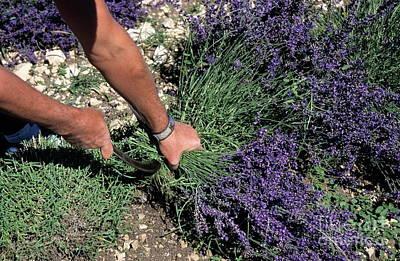 Man Harvesting Lavender Flowers In Field Art Print by Sami Sarkis