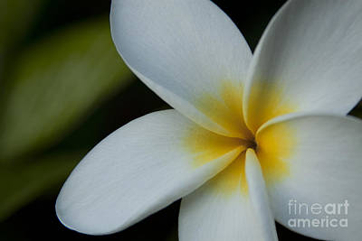 Mana I Ka Lani - Tropical Plumeria Hawaii Art Print by Sharon Mau