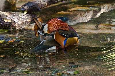 Photograph - Mandarin Wood Duck by Jason Blalock
