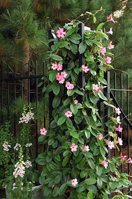 Mandevilla Vine With Pink Flowers Art Print by Darlyne A. Murawski