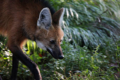 Photograph - Maned Wolf by Karol Livote