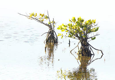 Photograph - Mangroves by Francesa Miller