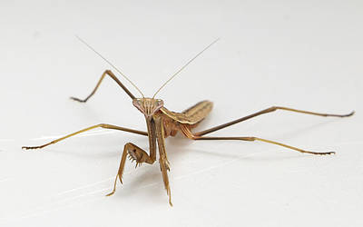 Photograph - Mantis 1 by John Crothers
