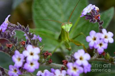 Photograph - Mantis by Heather Applegate