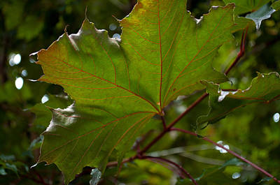 Photograph - Maple 3 by Tikvah's Hope