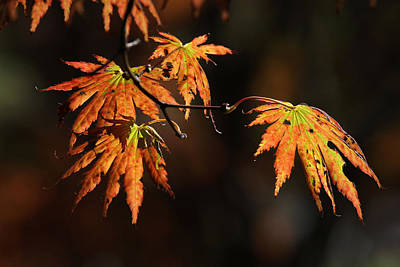 Photograph - Maple Glow by Juergen Roth