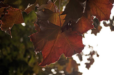 Photograph - Maple I by Tikvah's Hope