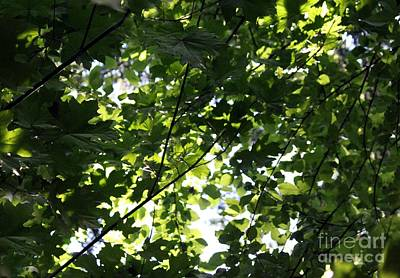 Photograph - Maple Leaf Canopy by Erica Hanel