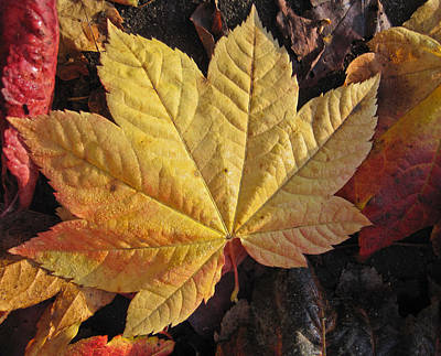 Maple Leaf Close Up  Art Print by Robert  Perin