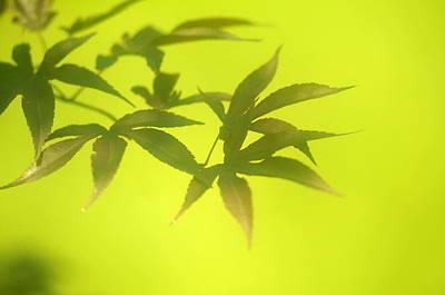 Photograph - Maple Leaf by Douglas Pike