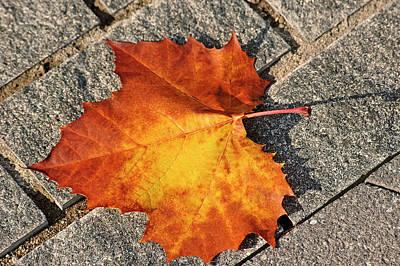 Maple Leaf In Fall Art Print by Carolyn Marshall