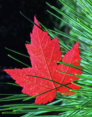 Photograph - Maple Leaf In Pines by Peg Runyan