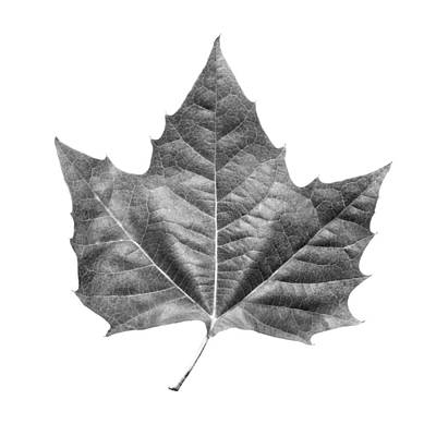 Photograph - Maple Leaf by Jason Smith