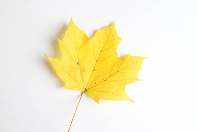 Maple Leaf Print by Photo Researchers