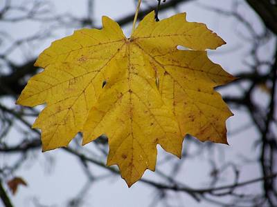 Photograph - Maple Leaf Series Number 1 by Angi Parks