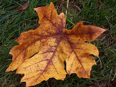 Photograph - Maple Leaf Series Number 2 by Angi Parks