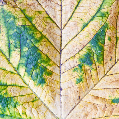 Blight Photograph - Maple Leaf by Tom Gowanlock