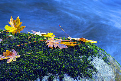 Photograph - Maple Leaves On Mossy Rock by Sharon Talson