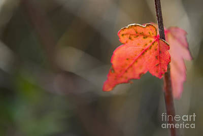 Trees Photograph - Maple Sapling by Heather Applegate