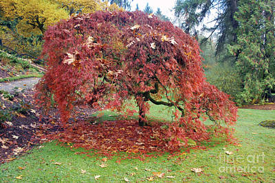 Photograph - Maple Shower by Bill Thomson