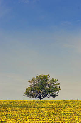 Maple Tree And  Dandelion Field, Prince Art Print