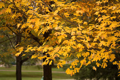 Middlebury Photograph - Maple Trees Reach Their Peak Of Fall by Joel Sartore