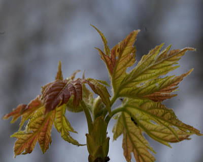 Photograph - Maple Unfolding by Barry Doherty