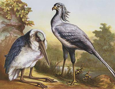Stork Digital Art - Marabou And Secretarybird by Hulton Archive