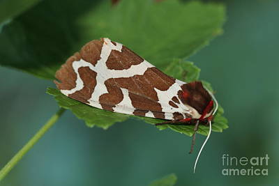 Photograph - Marble Brown Moth by Donna Munro