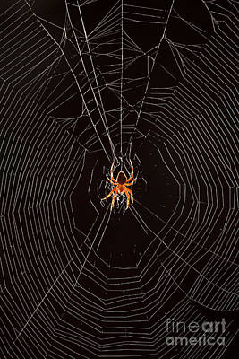 Marbled Orb Weaver Spider Art Print by Ted Kinsman