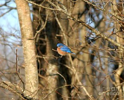 March Bluebird Art Print by Neal Eslinger