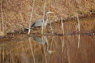 Photograph - March Great Blue Heron by Mary McAvoy