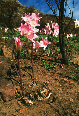 Cape Lily Photograph - March Lilies by Georgette Douwma