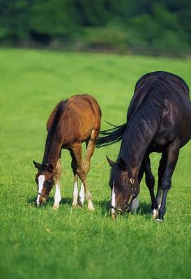 Mare And Foal Thoroughbred Horses Art Print by The Irish Image Collection