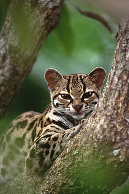 Margay Cat Photograph - Margay Leopardus Wiedii Orphaned Wild by Gerry Ellis