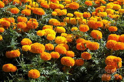 Marigold Original