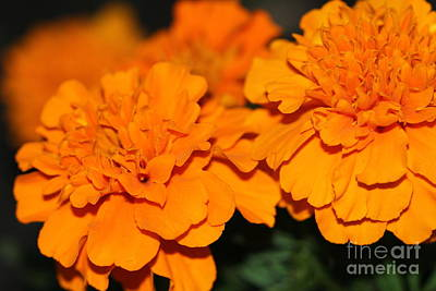 Photograph - Marigold Blooms by Donna L Munro