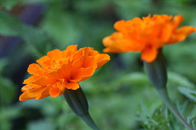 Photograph - Marigold Duo by Bonnie Boden