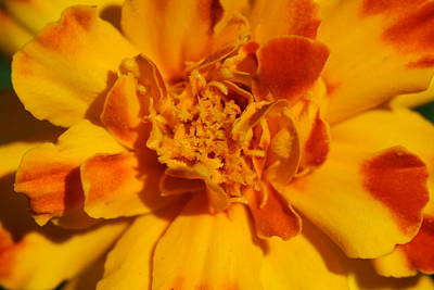 Photograph - Marigold Flower by Bonnie Boden