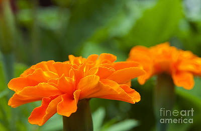 Photograph - Marigold Flowers by Jeannette Hunt