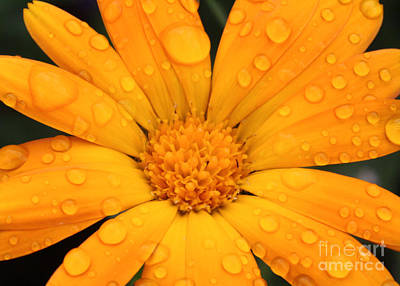 Photograph - Marigold by Jo