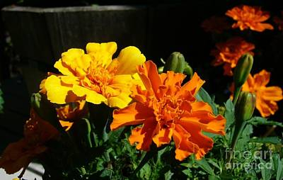 Art Print featuring the photograph Marigold Morning Glory by Jim Sauchyn