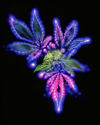 Marijuana Leaf And Bud, Kirlian Artwork Art Print by Boothgarion