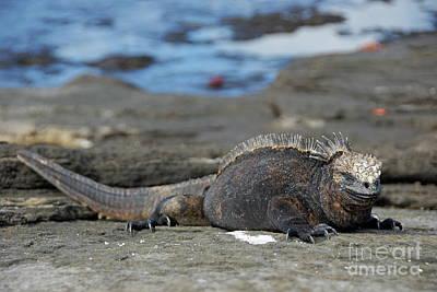 Marine Iguana Lying On Rock By Water Art Print by Sami Sarkis