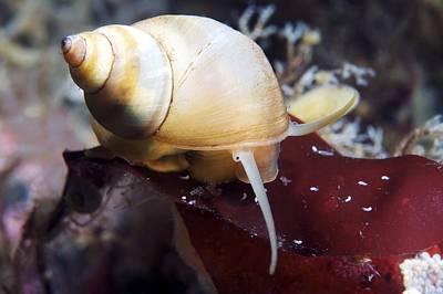 Marine Snail Art Print by Alexander Semenov