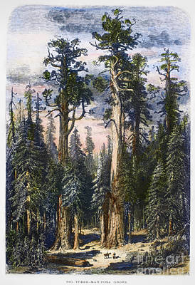 1874 Photograph - Mariposa Grove, 1874 by Granger