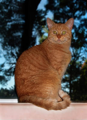 Photograph - Marmaduke The Marmalade Cat by Odille Esmonde-Morgan