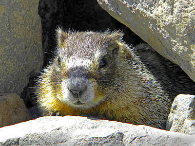 Photograph - Marmot In Den by Frank Wilson